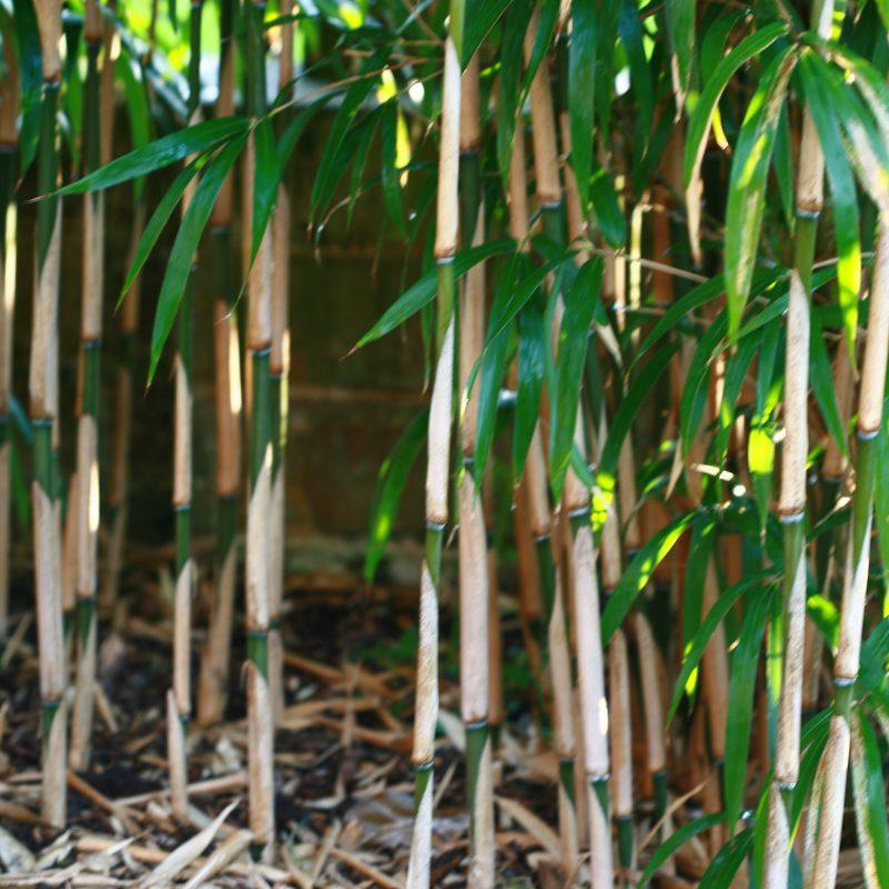 toller bambus